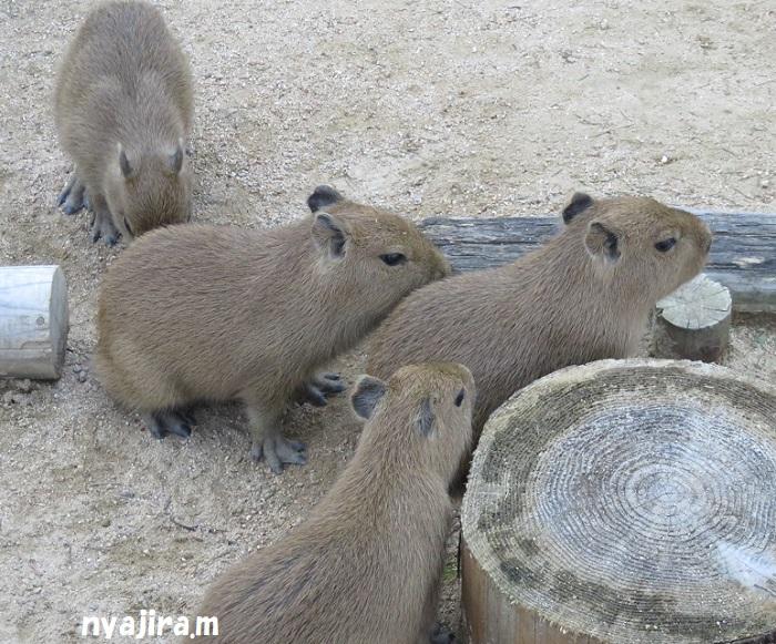 王子動物園続き(2017.11.2)_f0002743_130151.jpg