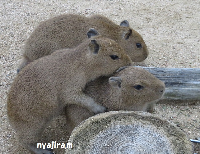王子動物園続き(2017.11.2)_f0002743_1304343.jpg