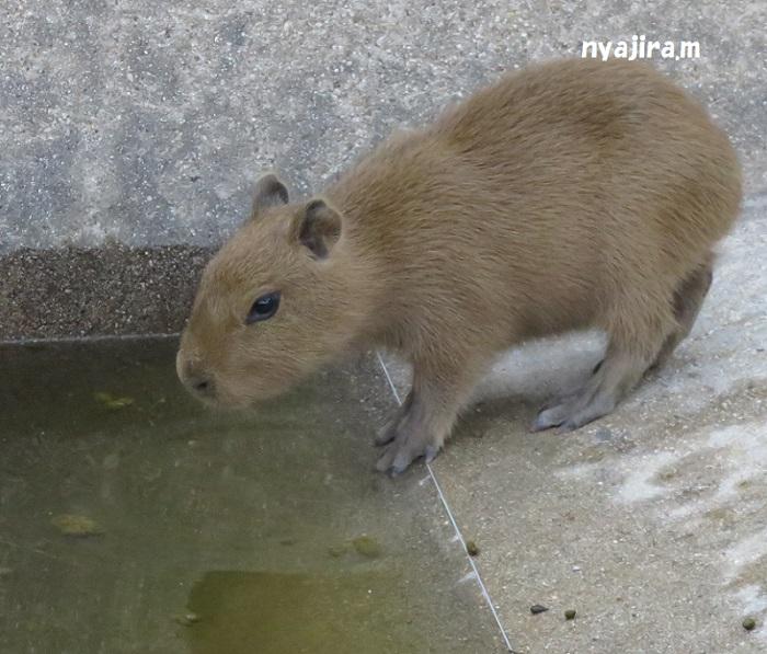 王子動物園続き(2017.11.2)_f0002743_13133943.jpg