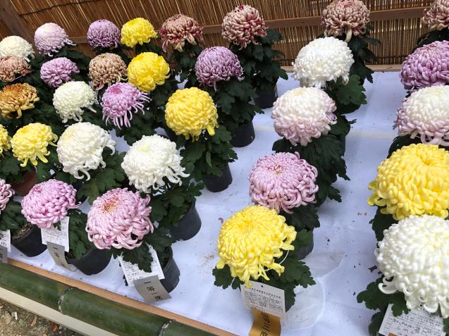 笠間稲荷神社 菊まつり_f0144003_18141944.jpg