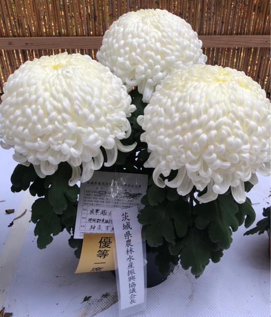 笠間稲荷神社 菊まつり_f0144003_18145943.jpg