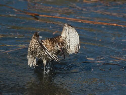 水浴びするチュウシャクシギ  HTS _d0346713_20390348.jpg