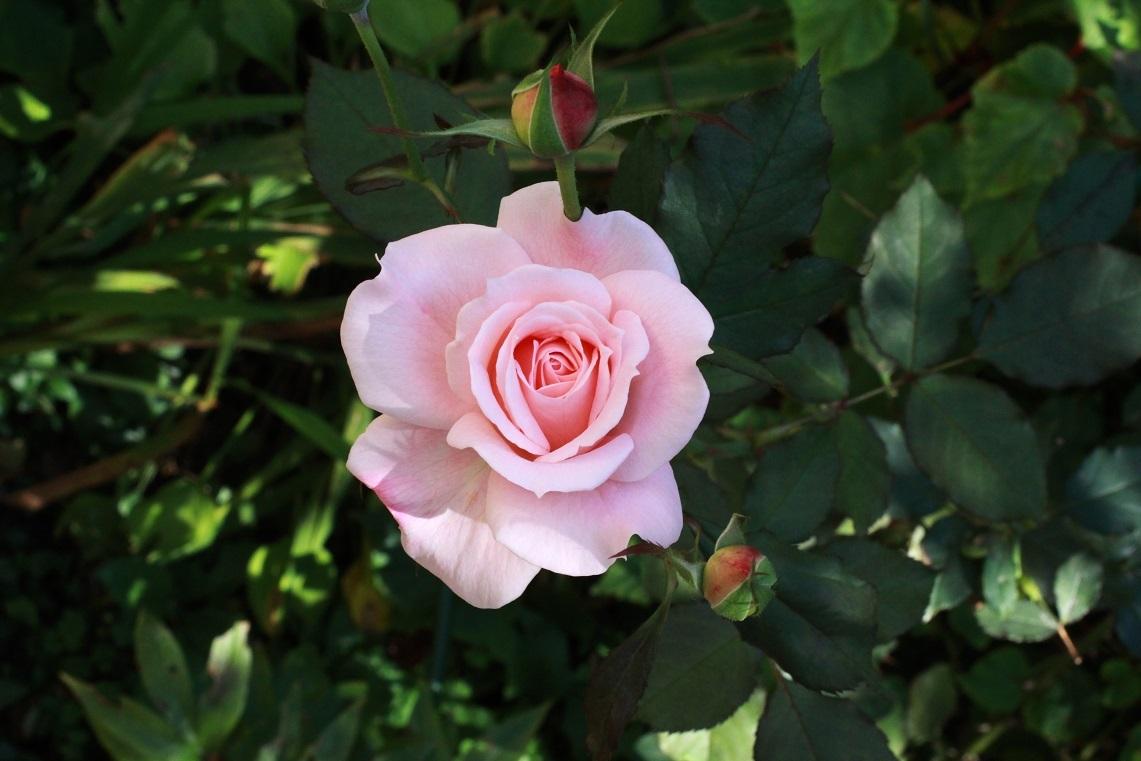 秋薔薇 ~ブライダルピンク~_a0107574_18202759.jpg