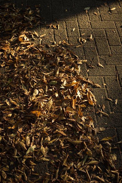 晩秋のケヤキと戯れる光蜥蜴_d0353489_10521992.jpg