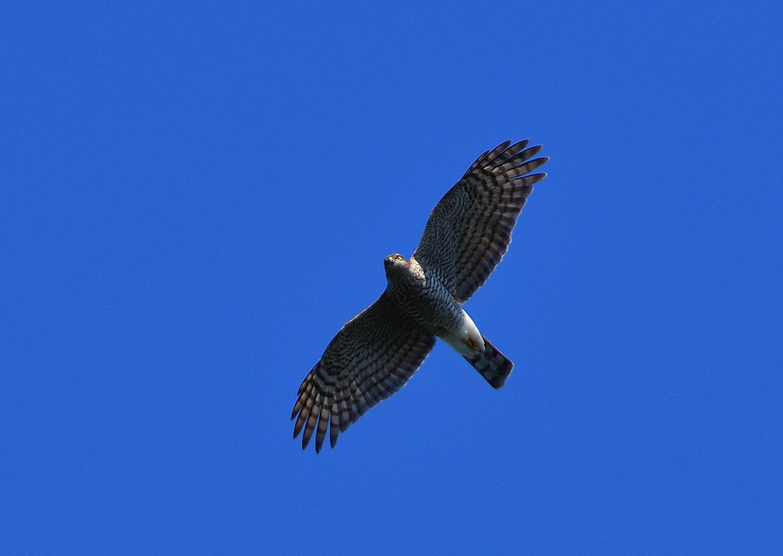 鷹の渡り ② ハイタカ_e0362696_17111763.jpg