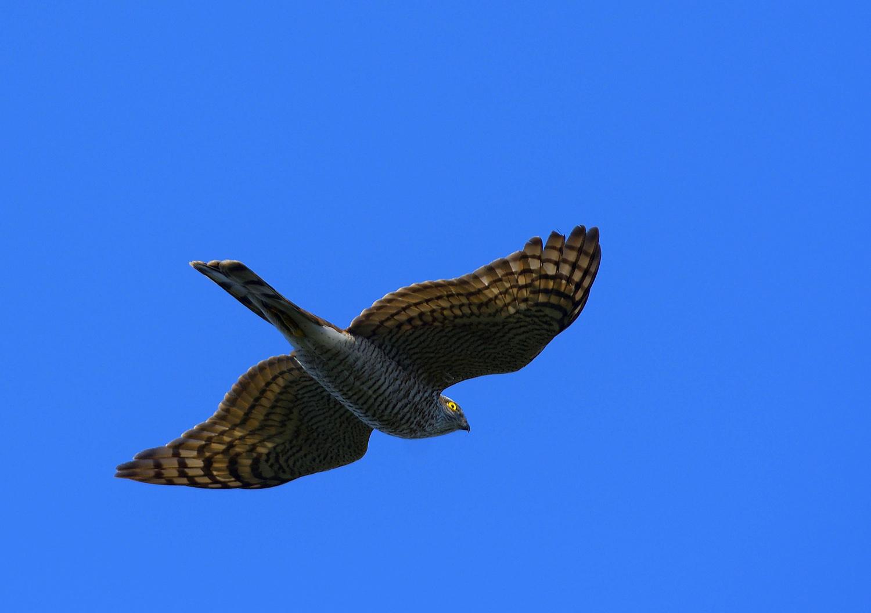 鷹の渡り ② ハイタカ_e0362696_17114415.jpg
