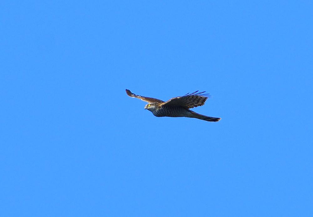 鷹の渡り ② ハイタカ_e0362696_17120548.jpg