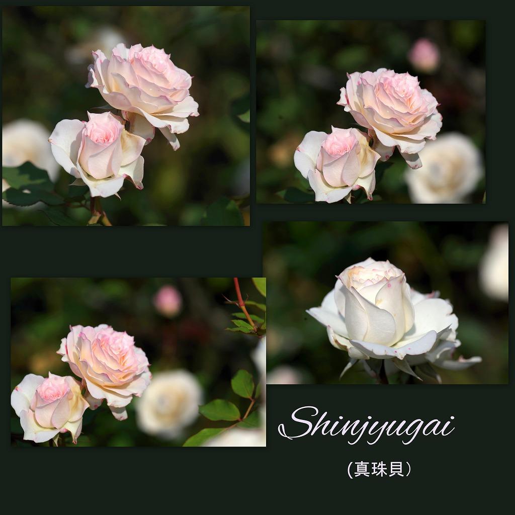秋薔薇 毎日更新_d0147812_18233520.jpg