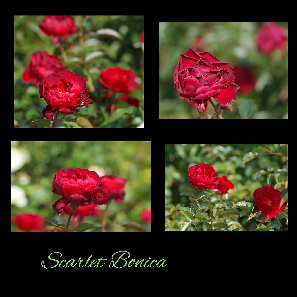 秋薔薇 毎日更新_d0147812_18244921.jpg
