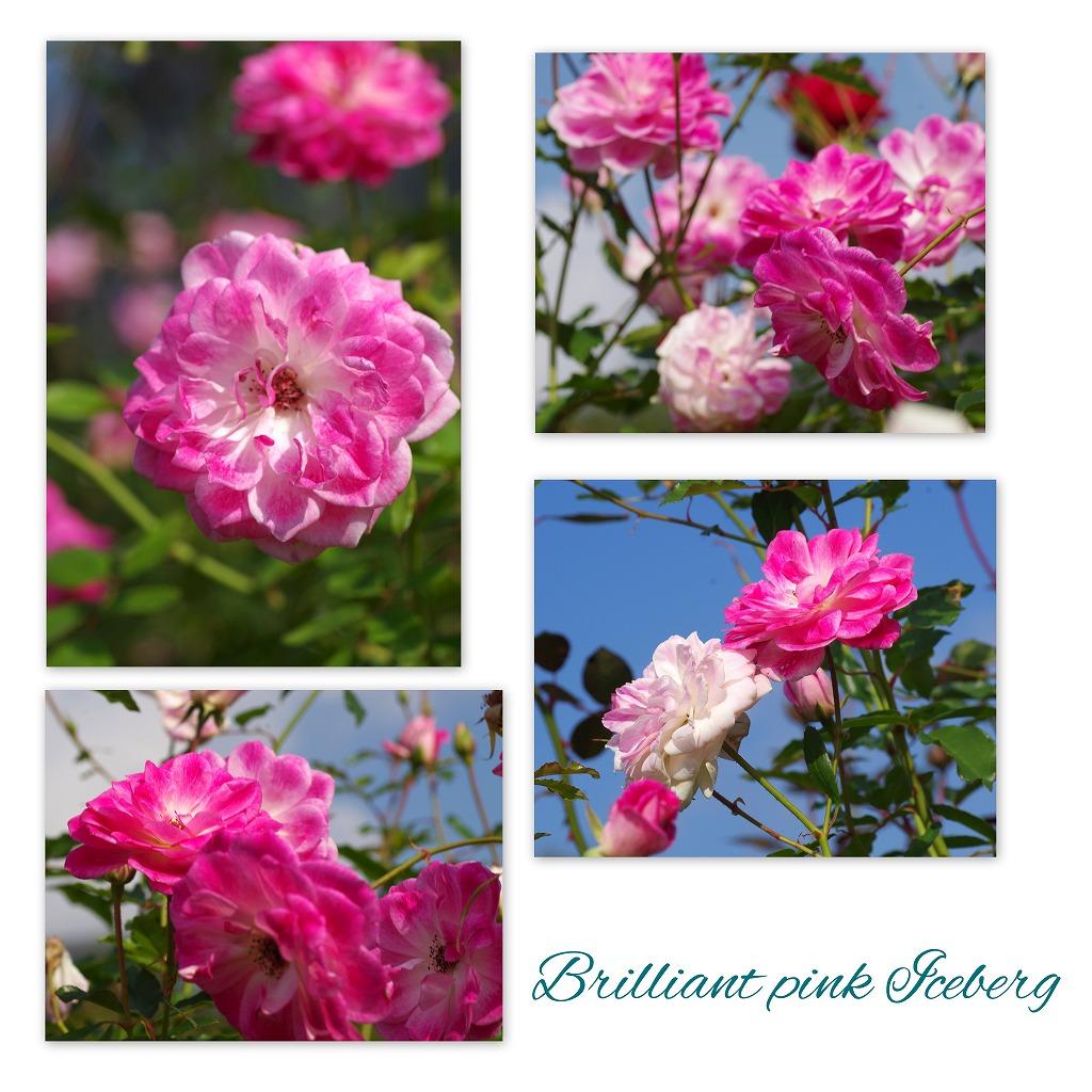 秋薔薇 毎日更新_d0147812_1825548.jpg