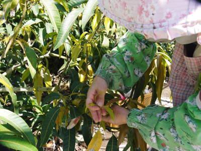 樹上完熟アップルマンゴー ハウスにビニールを張り匠の温度管理が始まりました_a0254656_17111540.jpg