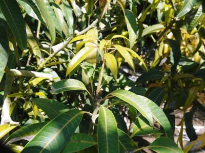 樹上完熟アップルマンゴー ハウスにビニールを張り匠の温度管理が始まりました_a0254656_17165579.jpg