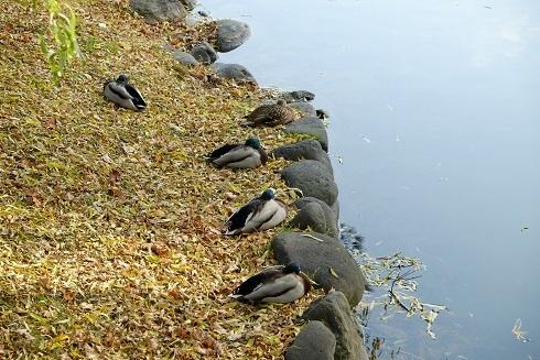 晩秋の札幌中島公園を散歩しました。_f0362073_06542353.jpg