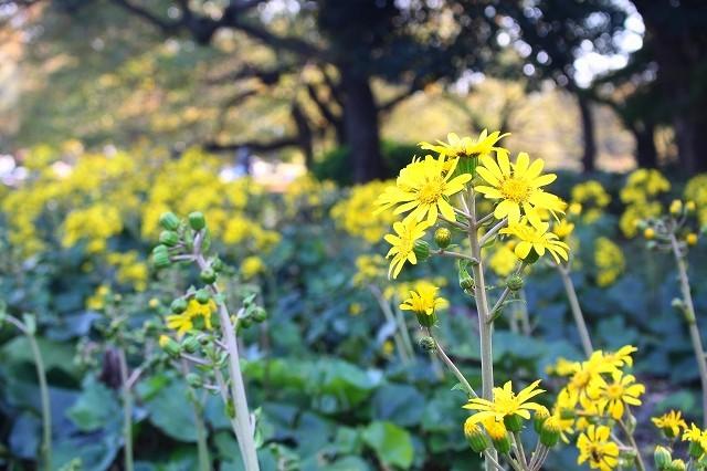 新宿御苑 黄色の木々_f0374092_18034678.jpg