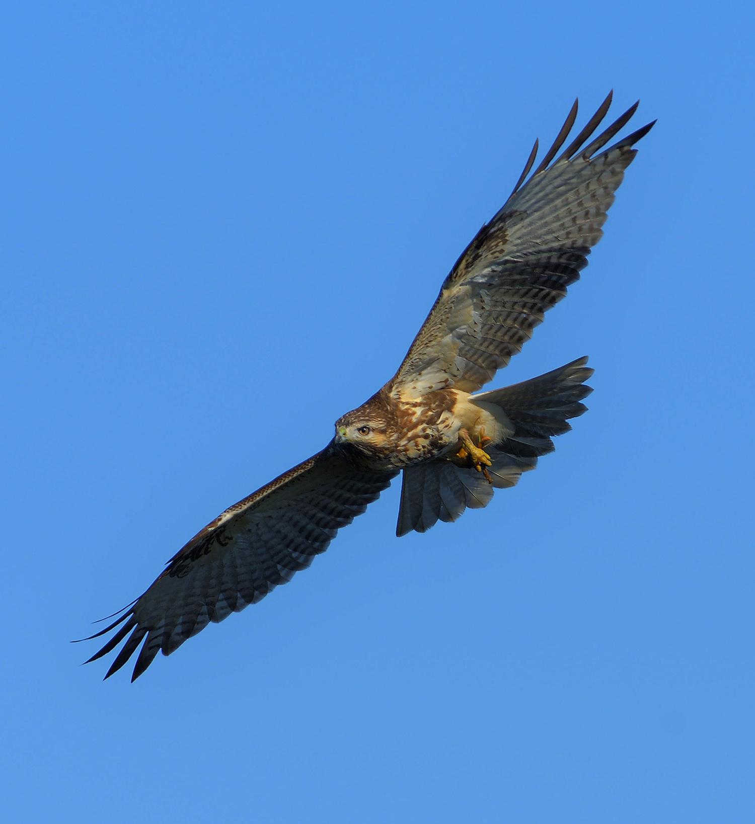 鷹の渡り ③ ノスリ_e0362696_15590523.jpg