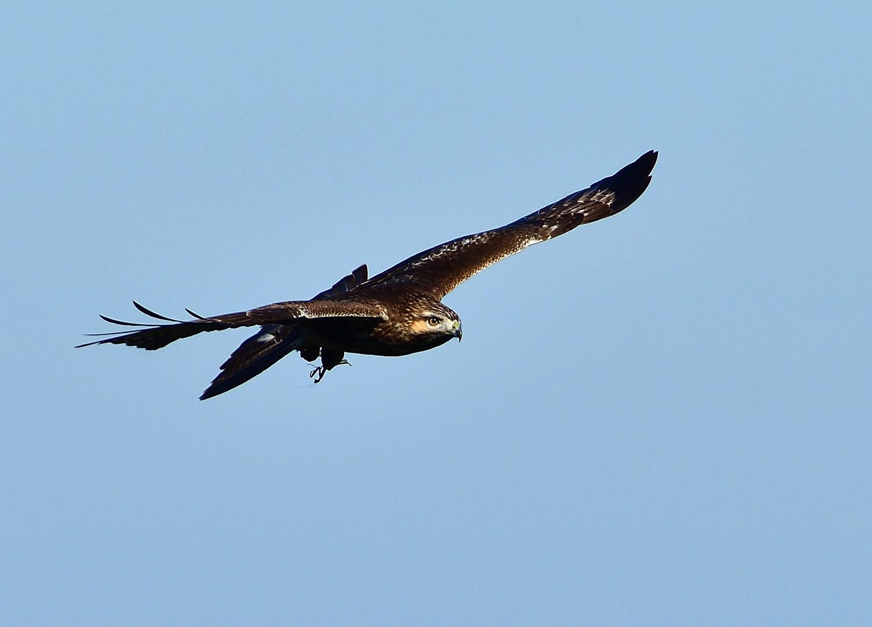 鷹の渡り ③ ノスリ_e0362696_15591182.jpg