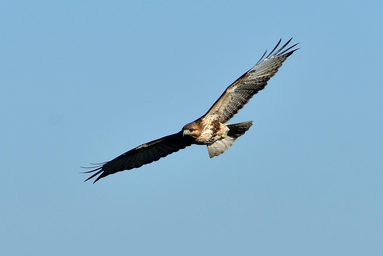 鷹の渡り ③ ノスリ_e0362696_15595860.jpg