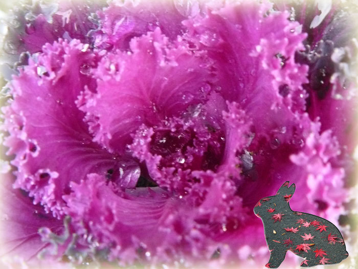 花キャベツ_d0162994_09414491.jpg