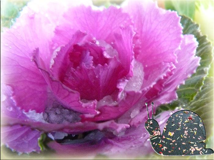 花キャベツ_d0162994_09422186.jpg