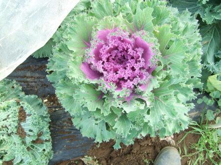 えんどう豆の種まき..._b0137932_16251000.jpg