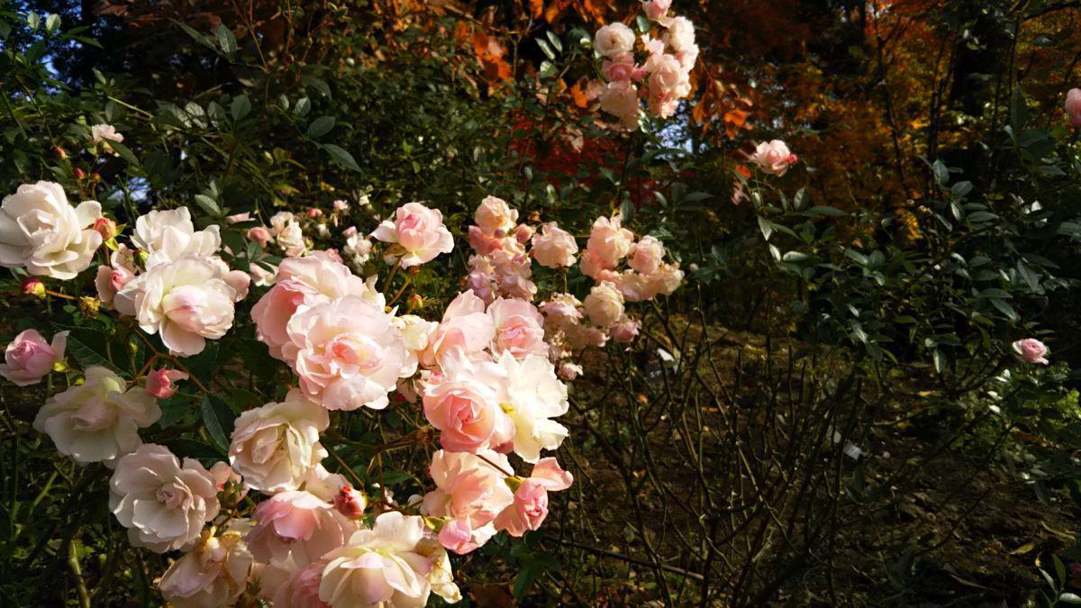 コピスガーデンで薔薇と紅葉散歩 : 那須高原ペンション通信(オーナー通信)