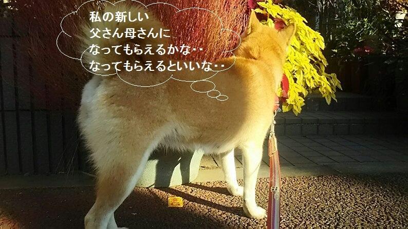 柴犬ちゃんのご縁が結ばれました!_f0242002_23323370.jpg
