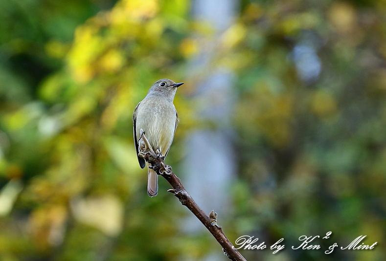林道で会えた小鳥さん達♪「ジョウビタキ」&「ミヤマホオジロ」&「カケス」&「エナガ」&「オシドリ」さん♪_e0218518_18453595.jpg