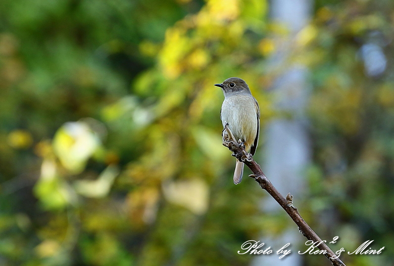 林道で会えた小鳥さん達♪「ジョウビタキ」&「ミヤマホオジロ」&「カケス」&「エナガ」&「オシドリ」さん♪_e0218518_18455305.jpg