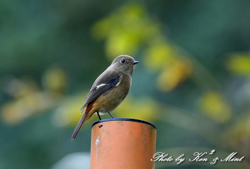 林道で会えた小鳥さん達♪「ジョウビタキ」&「ミヤマホオジロ」&「カケス」&「エナガ」&「オシドリ」さん♪_e0218518_18462024.jpg