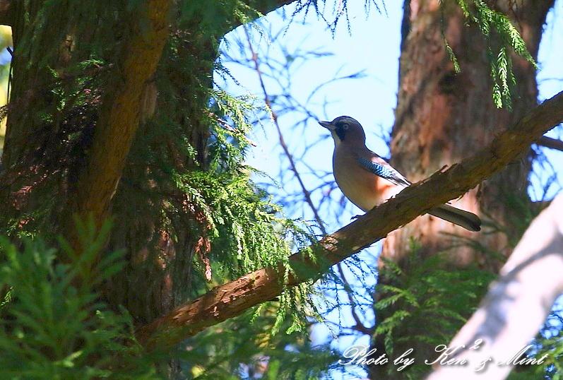 林道で会えた小鳥さん達♪「ジョウビタキ」&「ミヤマホオジロ」&「カケス」&「エナガ」&「オシドリ」さん♪_e0218518_18464495.jpg