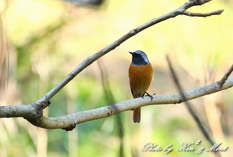 林道で会えた小鳥さん達♪「ジョウビタキ」&「ミヤマホオジロ」&「カケス」&「エナガ」&「オシドリ」さん♪_e0218518_18472372.jpg