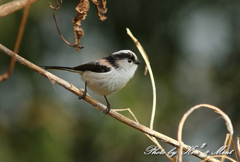 林道で会えた小鳥さん達♪「ジョウビタキ」&「ミヤマホオジロ」&「カケス」&「エナガ」&「オシドリ」さん♪_e0218518_18480366.jpg