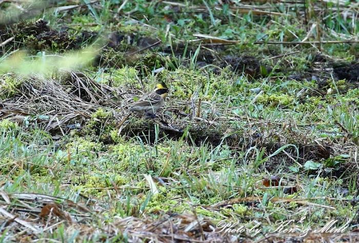 林道で会えた小鳥さん達♪「ジョウビタキ」&「ミヤマホオジロ」&「カケス」&「エナガ」&「オシドリ」さん♪_e0218518_18482586.jpg
