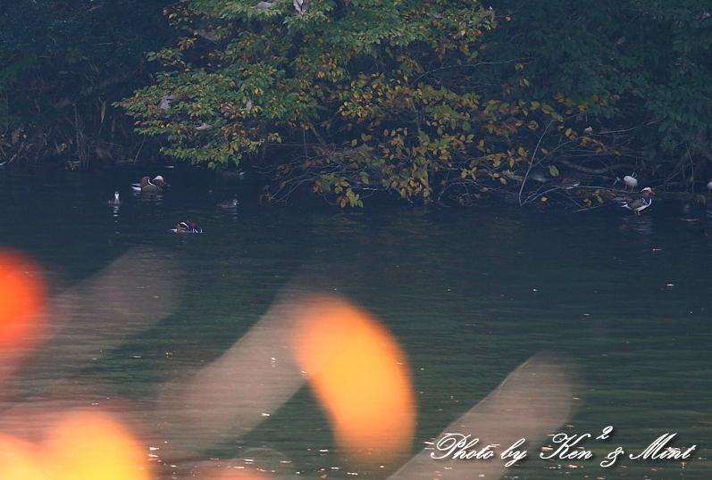 林道で会えた小鳥さん達♪「ジョウビタキ」&「ミヤマホオジロ」&「カケス」&「エナガ」&「オシドリ」さん♪_e0218518_18484607.jpg
