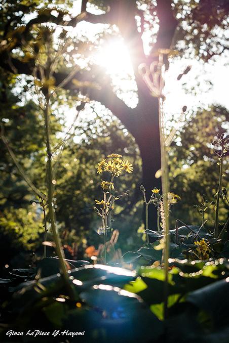 花のある風景 逆光のツワブキ_b0133053_00525194.jpg