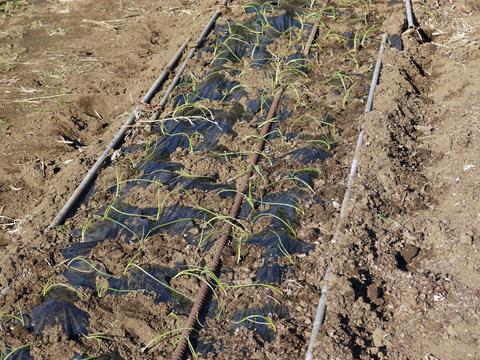 収穫に不安、生育不良のタマネギ苗300本植え付け11・12_c0014967_2159215.jpg