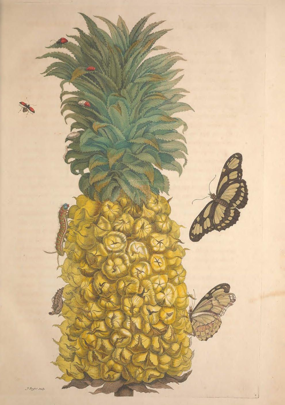 300年前の女性昆虫学者の作品がオープンアクセスに_c0025115_22560904.jpg