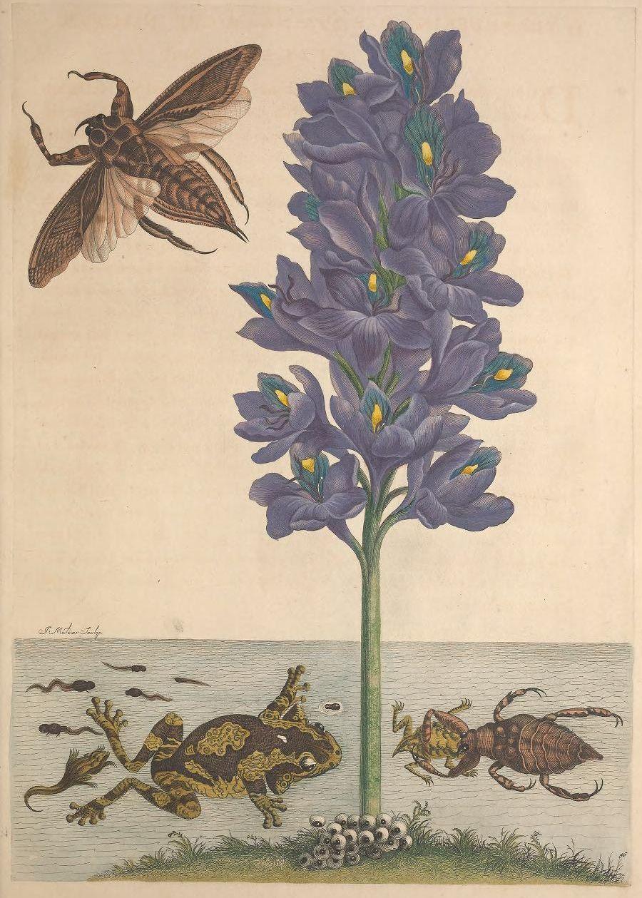 300年前の女性昆虫学者の作品がオープンアクセスに_c0025115_22575139.jpg