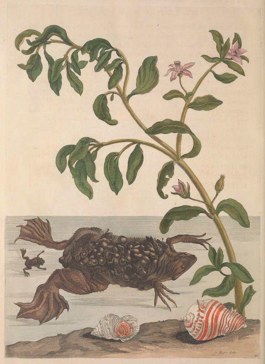 300年前の女性昆虫学者の作品がオープンアクセスに_c0025115_22575597.jpg