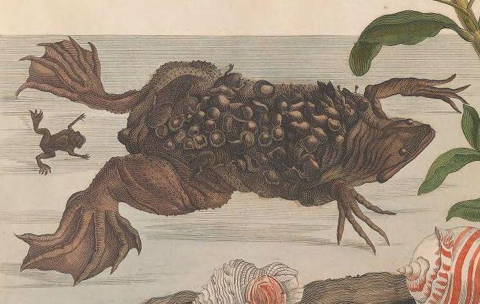 300年前の女性昆虫学者の作品がオープンアクセスに_c0025115_22575902.jpg