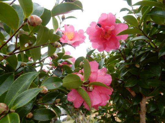 '17,11,15(水)サザンカの咲く公園とチーズフォンデュ!_f0060461_10424939.jpg