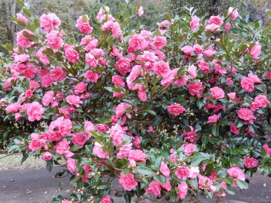 '17,11,15(水)サザンカの咲く公園とチーズフォンデュ!_f0060461_10473435.jpg
