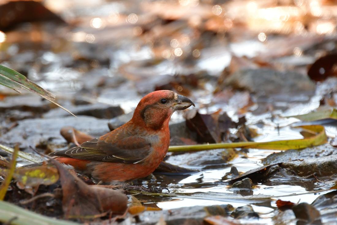 赤い鳥さん2種 水飲みイスカ ベニマシコ_f0053272_21064393.jpg