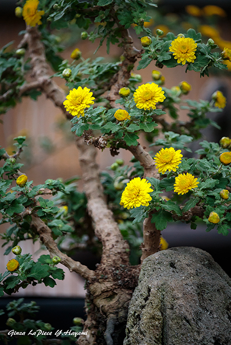 花のある風景 小菊の雰囲気_b0133053_01211098.jpg