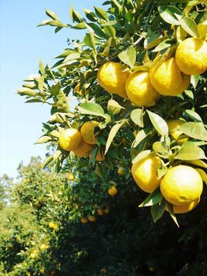 香り高き柚子 令和元年の出荷を本日よりスタート!大人気の「冬至用柚子」のご予約はお急ぎ下さい!!_a0254656_16361536.jpg