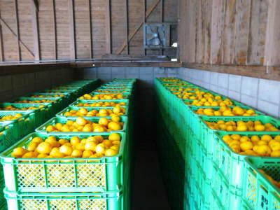 令和元年度の『香り高き柚子』の「冬至用柚子」はいよいよ残りわずか!!ご注文はお急ぎください!_a0254656_17270259.jpg