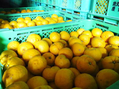令和元年度の『香り高き柚子』の「冬至用柚子」はいよいよ残りわずか!!ご注文はお急ぎください!_a0254656_17295605.jpg