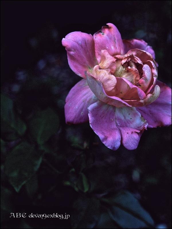 秋の薔薇_f0315034_12264586.jpg