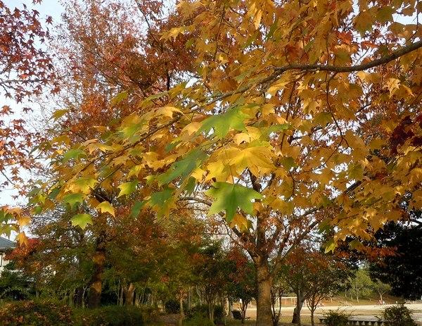路傍の花、樹々の鳥(188) ~ 眼福はご近所の紅葉で ~_b0102572_22301055.jpg