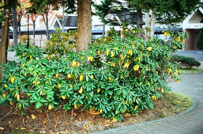 石楠花の黄葉とナナカマドの胴吹きとフィルムカメラの伝道_c0182775_1652302.jpg